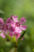 Droplets of water on moss phlox flowers