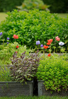 Herbs and flowering plants in metal baskets used as planters in garden