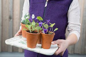 Violets in terracotta pots