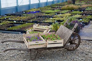 Crates of violets in a nursery