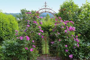 Blühende Rose gallica 'Officinalis' an Rosenbogen mit Gartentor