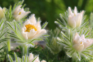 White pasque flower 'Alba'