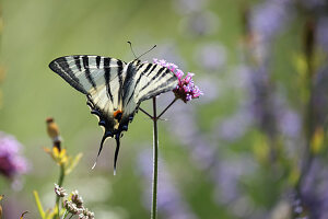 Swallowtail butterfly on Verbena bonariensis flower