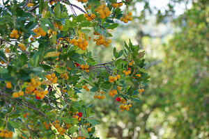Yellow and red fruits on strawberry tree
