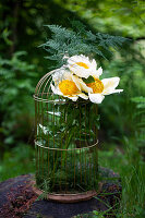 Blüten von Pfingstrose 'Claire de Lune' mit Zierspargel in Drahtkäfig gesteckt