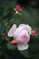 Blüte und Knospen von englischer Rose 'Heritage'