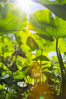 Bottom view of Indian lotus leaves in sunlight