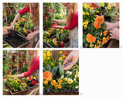 Planting a rusty trough with violas, pansies, narcissus and parrot tulips