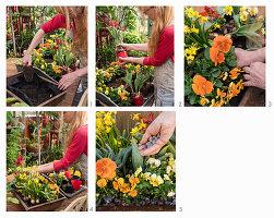 Rostschale mit Hornveilchen, Stiefmütterchen, Narzissen und Papageientulpen bepflanzen
