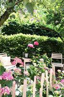 Pink hydrangeas next to paling fence in summer garden