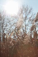 Flowering reeds seen against the light