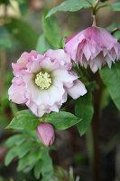 Hellebore 'Double Ellen pink'