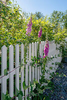 Snapdragons growing on a wooden fence in a sunny garden