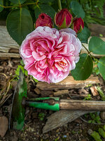 Flower and buds of rose 'St. Swithun'