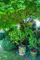 Zitronenbäumchen unter Ahornbaum im Garten