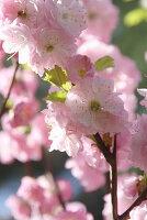 Japanische Nelkenkirsche