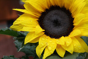 Sunflower with drops of water