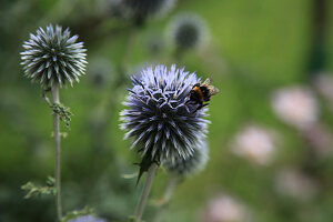 Bumblebee on flowering of thistle