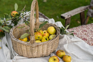 Willow basket with freshly harvested apples in the garden