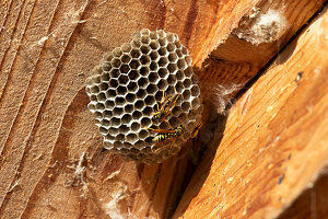 Field wasps at a wasp nest