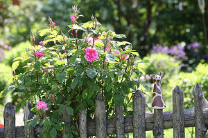 Flowering rose bush behind wooden garden fence