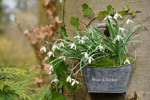 Snowdrops hung from a tree trunk in a small zinc basket