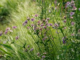 Pink astrantia 'Buckland'
