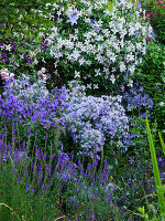 Clematis 'Entel', milky bellflower and purple toadflax