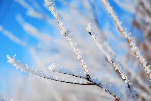 Twigs covered in hoar frost