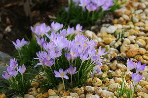 Blooming early crocuses