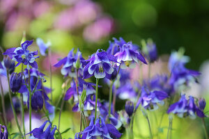 Blue and white blooming Columbine 'Himmelblau'