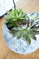 Echeverias in rounded pot