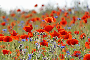 Poppies and cornflowers in wildflower meadow