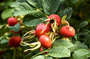 rosehips from a Beach rose plant