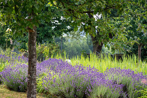 Blühender Lavendel und Gräser zwischen Obstbäumen