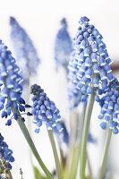 Blüte von Traubenhyazinthen