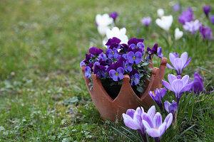 Blühende Krokusse und Kronentopf mit Hornveilchen im Rasen