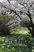 Yoshino-Kirschbaum (auch bekannt als Tokiokirsche oder Maienkirsche) in Blumenwiese mit Tulpen 'Hope' und Blausternchen