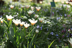 Tulip 'Hope' and squill flowering in lawn