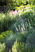 Catmint and blue fescue in herbaceous border