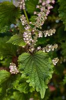 Flowering shiso plant
