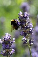 Bumblebee On Lavender Flowers