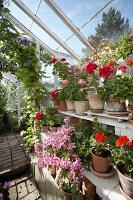 Flowering geraniums in greenhouse