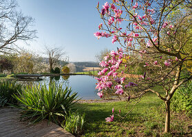 Flowering magnolia tree and palm lilies in front of swimming pond