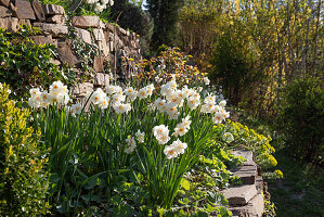 Flowering daffodils 'Bridal Crown' in the hillside garden, terraced with dry stone walls