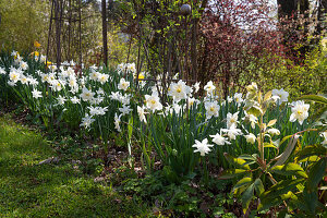 Bed with white daffodils
