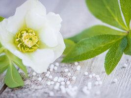 A white Lenten rose flower on a wooden surface