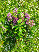 Lilac flowers in a meadow