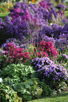 Autumn bed of asters and lady's mantle