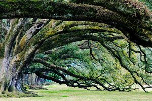 Old Growth Trees, Louisiana, USA